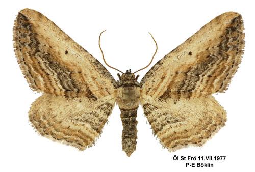 Horisme-vitalbata-Pyadenica-lomonosovaya1.jpg