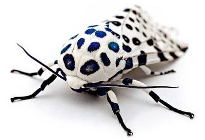 Hypercompe-scribonia-Medvedica-gigantskaya-leopardovaya-ili-sumerechnica-gigantskaya2.jpg