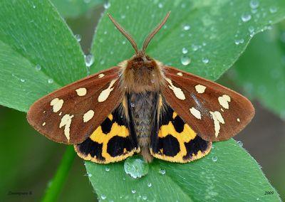 Hyphoraia-aulica-Medvedica-buro-zheltaya-ili-pridvornaya1.jpg