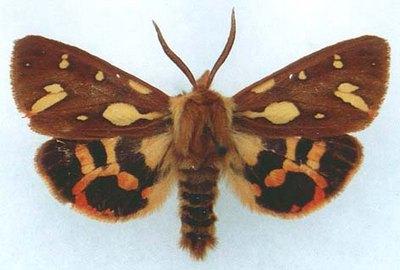Hyphoraia-testudinaria-Medvedica-pridvornaya-uzhnaya1.jpg