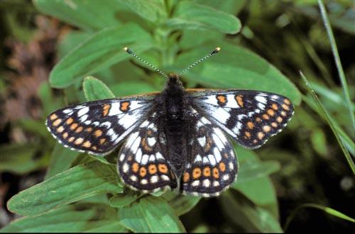 Hypodryas-cynthia-Shashechnica-pegaya1.jpg