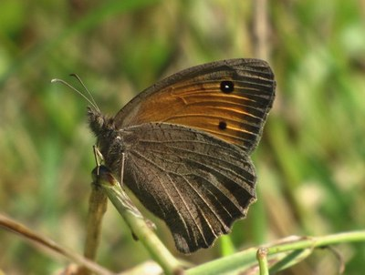 Hyponephele-lycaon-Malaya-krupnoglazka1.jpg