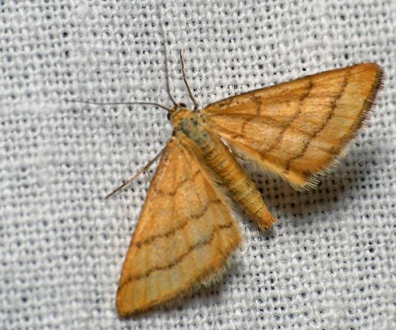 Idaea-aureolaria-Pyadenica-Malaya-zolotisto-zheltaya