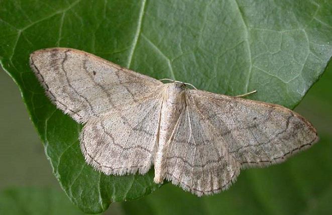 Idaea-aversata-Pyadenica-Malaya-dozhdevaya