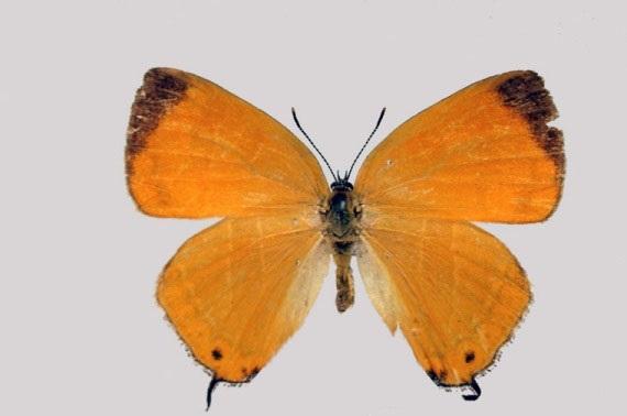 Japonica-lutea-Hewitson-1865-Zefir-zheltovatyi