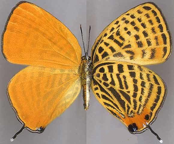 Japonica-saepestriata-Hewitson-1865-Zefir-pyatnistyi