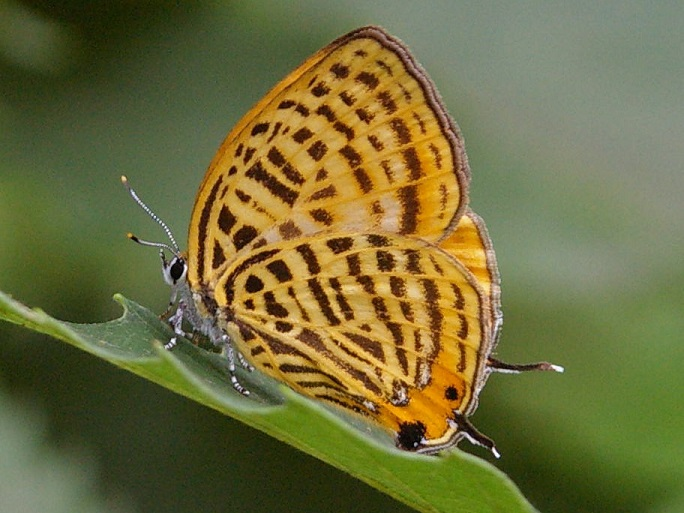 Japonica-saepestriata-Hewitson-1865-Zefir-pyatnistyi1.jpg