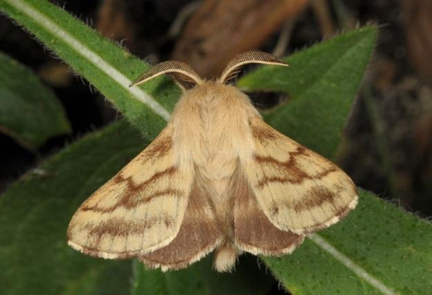 Kokonopryad-molochainyi-Malacosoma-castrensis