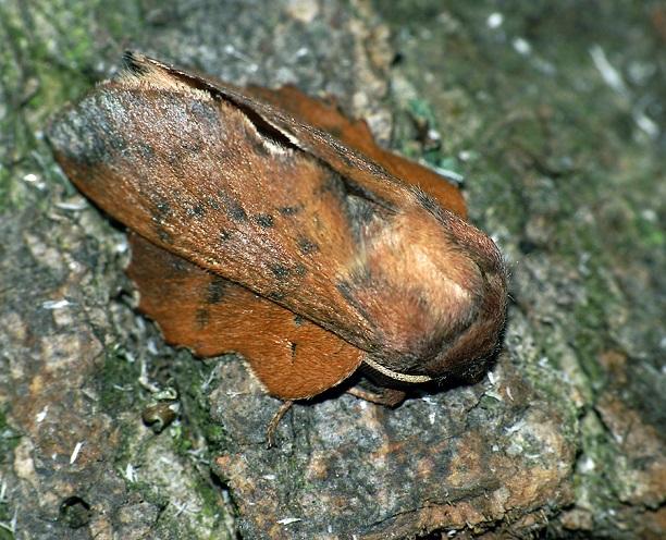 Kokonopryad-osinovolistnyi-Phyllodesma-tremulifolium