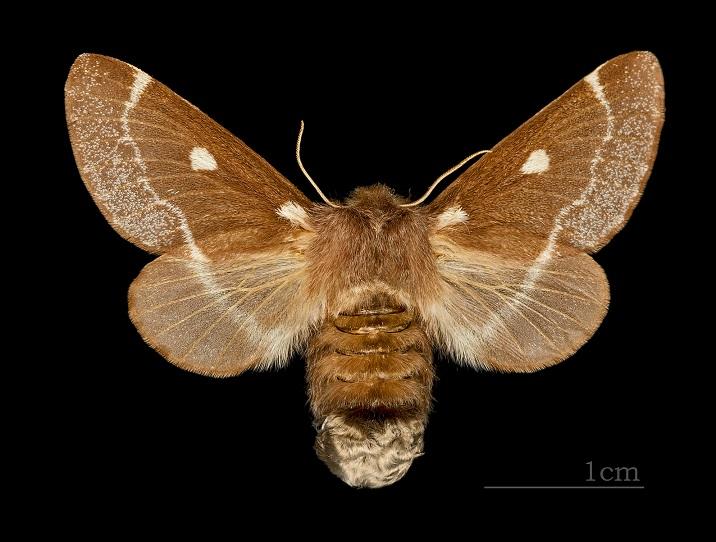 Kokonopryad-pushistyi-Eriogaster-lanestris