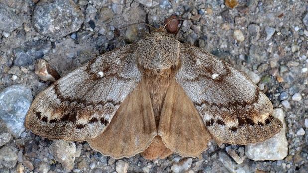 Kokonopryad-sibirskiy-Dendrolimus-sibiricus