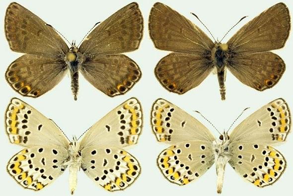 Kretania-eurypilus-Freyer-1851-Golubyanka-evripil