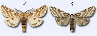Lacydes-spectabilis-Medvedica-zamechatelnaya.jpg