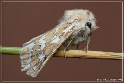 Lacydes-spectabilis-Medvedica-zamechatelnaya1.jpg