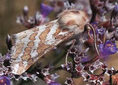 Lacydes-spectabilis-Medvedica-zamechatelnaya2.jpg