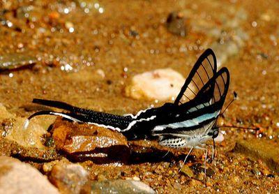 Lampropterameges-Lamproptera_meges.jpg