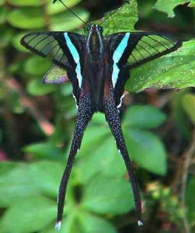 Lampropterameges-Lamproptera_meges1.jpg