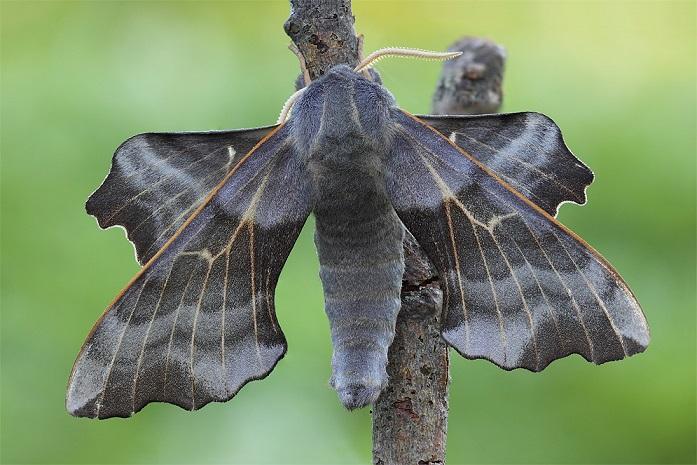 Laothoe-amurensis-Brazhnik-osinovyi