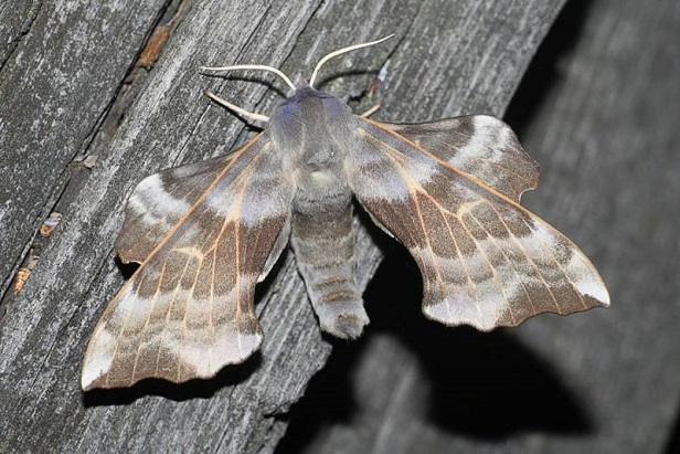 Laothoe-amurensis-Brazhnik-osinovyi1.jpg