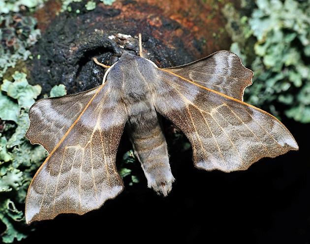 Laothoe-amurensis-Brazhnik-osinovyi2.jpg