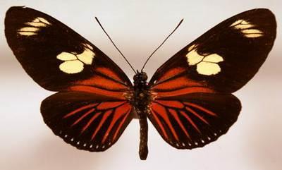 Laparus-(Heliconius)-doris.jpg