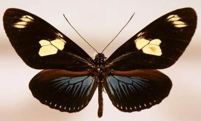 Laparus-(Heliconius)-doris1.jpg