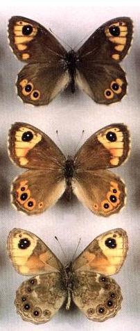 Lasiommata-adrastoides-buroglazka-talyshskaya.jpg