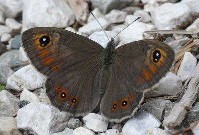 Lasiommata-maera-Bolshaya-buroglazka.jpg