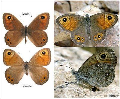 Lasiommata-maera-Bolshaya-buroglazka2.jpg