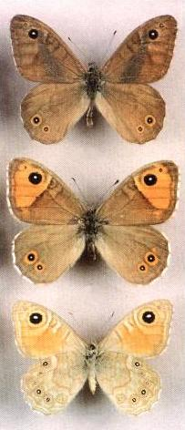 Lasiommata-menava1.jpg