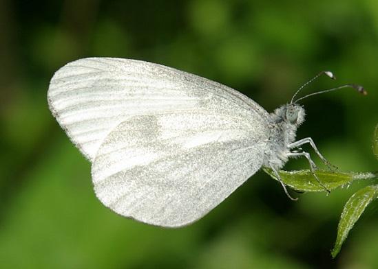 Leptidea-juvernica-Williams-1946-Belyanochka-irlandskaya