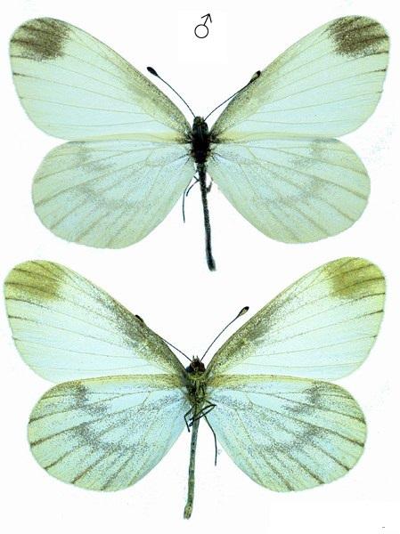 Leptidea-morsei-Fenton-1881-Belyanochka-Morze