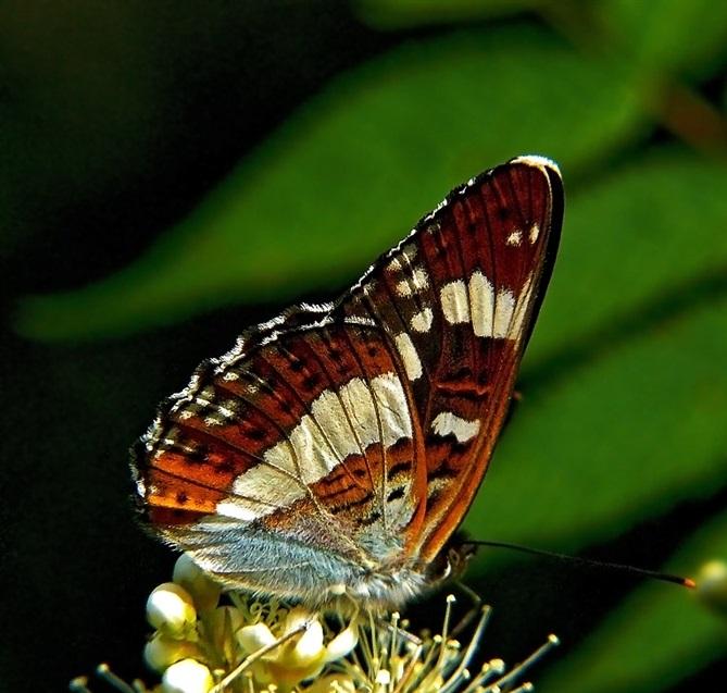 Limenitis-camilla-Linnaeus-1764-Lentochnik-kamilla1.jpg