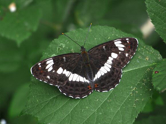 Limenitis-camilla-Linnaeus-1764-Lentochnik-kamilla2.jpg
