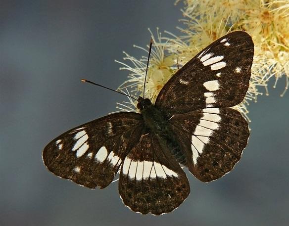 Limenitis-camilla-Linnaeus-1764-Lentochnik-kamilla3.jpg