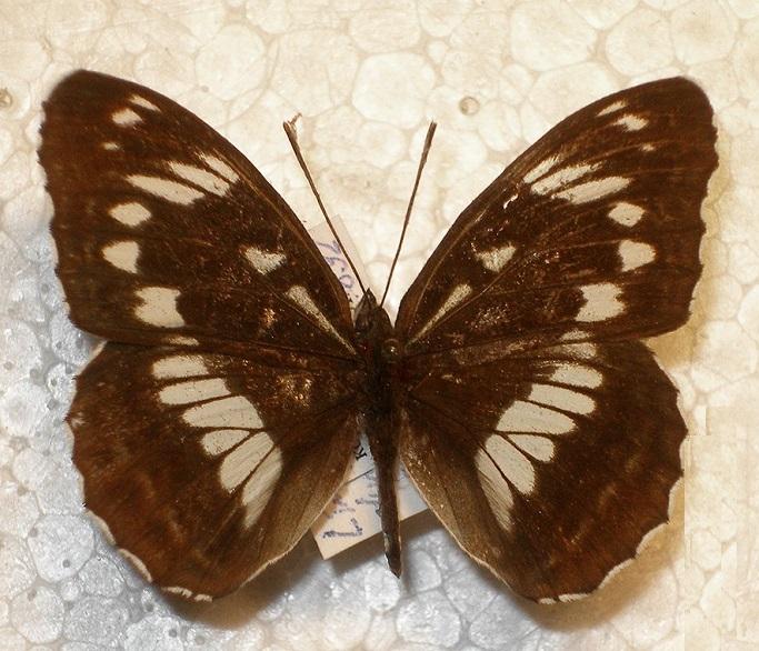 Limenitis-helmanni-Lederer-1853-Lentochnik-Gelmana
