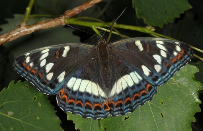 Limenitis-populi-Linnaeus-1758-Lentochnik-topolevyi1.jpg