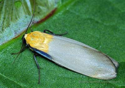 Lithosia-quadra-Lishainica-chetyrehpyatnistaya1.jpg