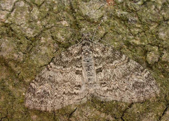 Lobophora-halterata-Pyadenica-lopastnaya-seraya
