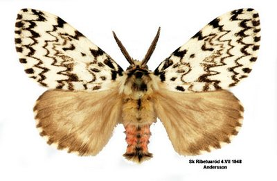 Lymantria-monacha-Volnyanka-monashenka.jpg