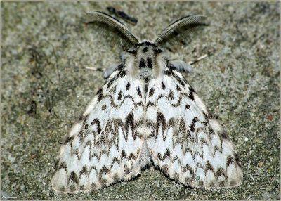 Lymantria-monacha-Volnyanka-monashenka1.jpg