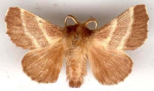 Malacosoma-americanum-kokonopryad-amerikanskiy.jpg