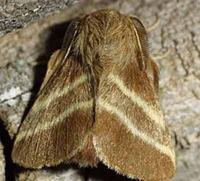 Malacosoma-americanum-kokonopryad-amerikanskiy2.jpg