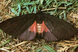 Medvedica-zakaspiyskaya-mrachnaya-Axiopoena-maura-Eichw