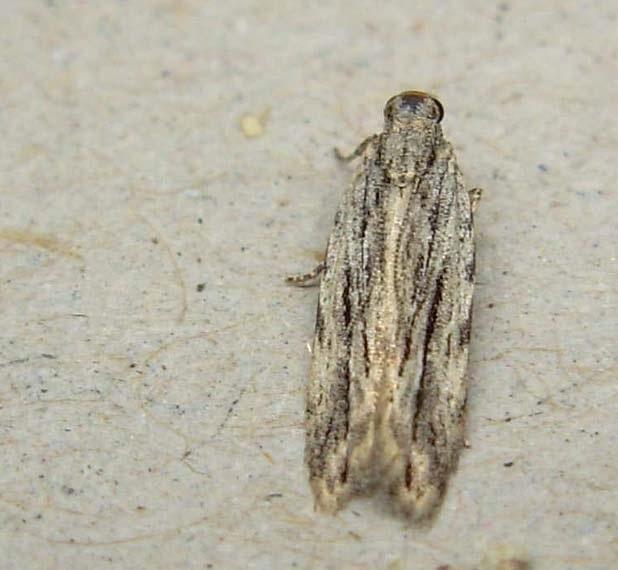 Megacraspedus-attritellus-Mol-vyemchatokrylaya-polosataya