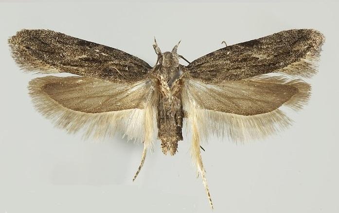 Megacraspedus-attritellus-Mol-vyemchatokrylaya-polosataya1.jpg