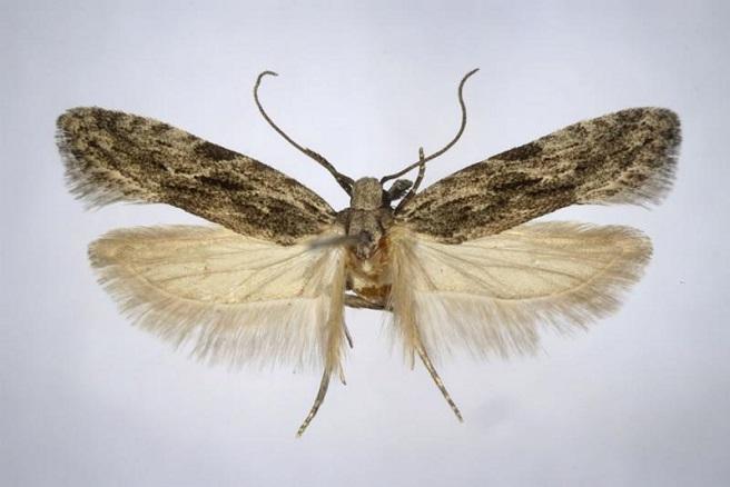 Megacraspedus-attritellus-Mol-vyemchatokrylaya-polosataya2.jpg