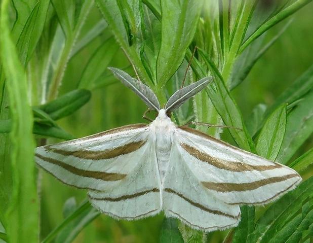 Megaspilates-mundataria-Pyadenica-izyaschnaya