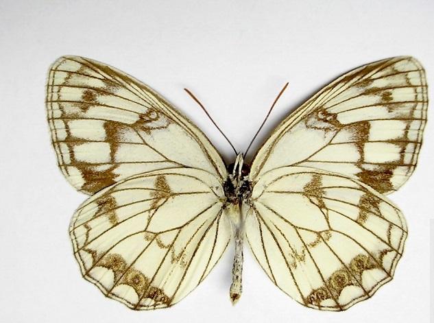 Melanargia-halimede-Menetries-1859-Pestroglazka-galimeda