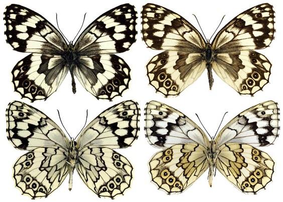 Melanargia-larissa-Geyer-1827-Pestroglazka-Larisa